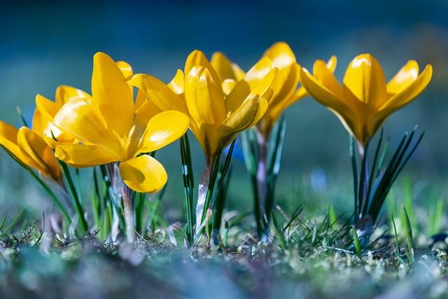 Crocus, Flowers, Bloom, Yellow, Frühlingsblüher