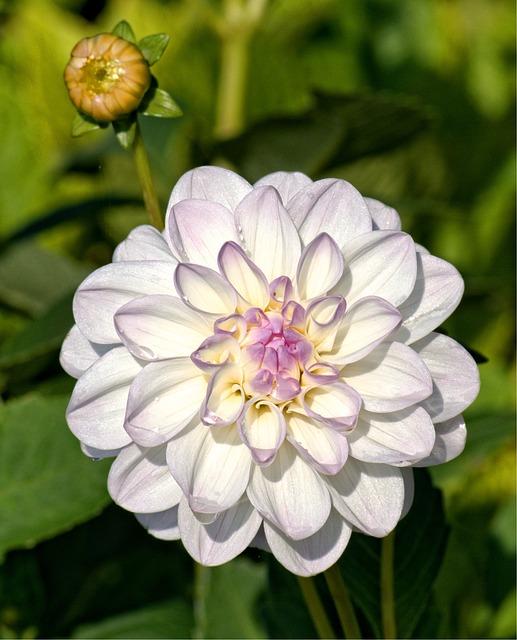 Autumn, Dahlia, Blossom, Bloom, Flower, Dahlia Garden