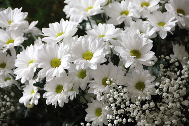 Flowers, Plant, Bloom, Daisies, White