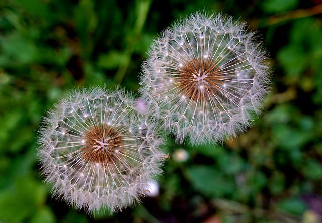 Dandelion, Plant, Close, Macro, Nature, Blossom, Bloom