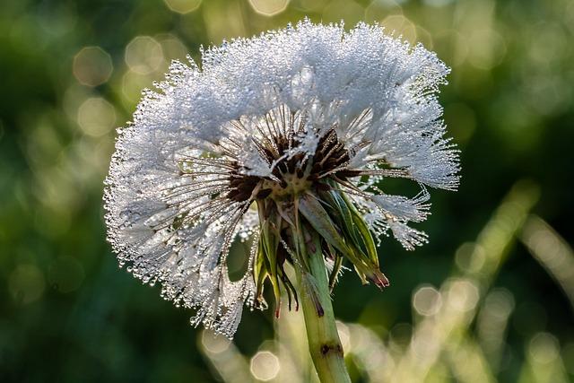 Raindrop, Dewdrop, Dandelion, Plant, Blossom, Bloom