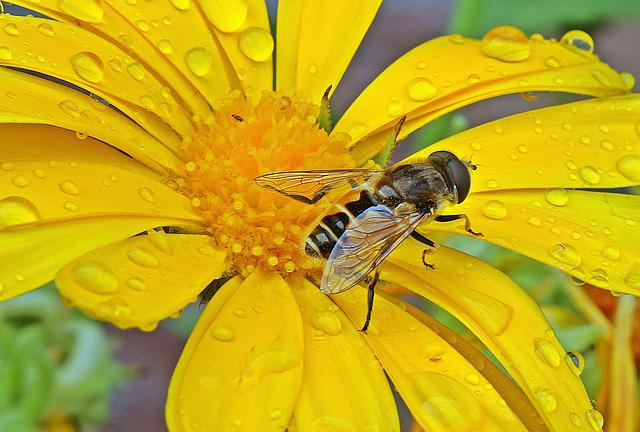 Hoverfly, Dung Fly, Insect, Blossom, Bloom, Marigold