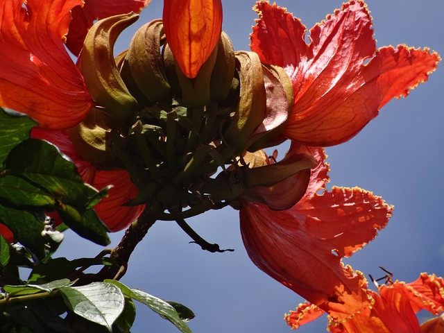 Flamboyant, Blossom, Bloom, Red, Close, Exotic, Molokai