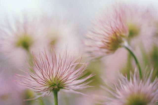 Pasqueflower, Blossom, Bloom, Faded, Seeds, Tender