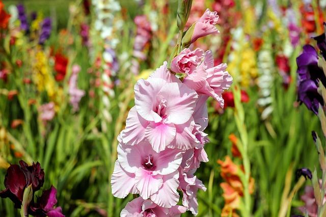 Gladiolus, Flower, Blossom, Bloom, Flowers, Pink, Field