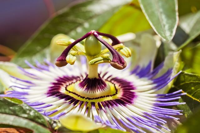 Passion Flower, Flower, Blossom, Bloom, Petals, Flora