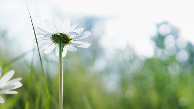 Bloom, Blossom, Chamomile, Close-up, Flora, Flowers