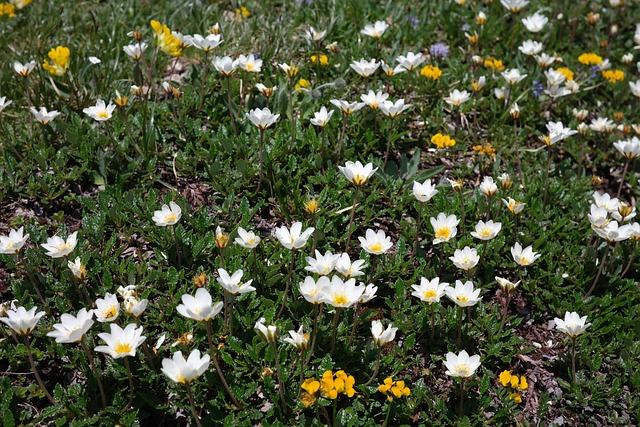 Dryas Octopetala, Flower, Blossom, Bloom, Alpine Flower