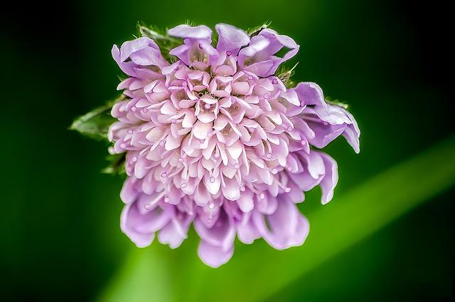 Pincushion Flower, Flower, Dipsacoideae, Blossom, Bloom