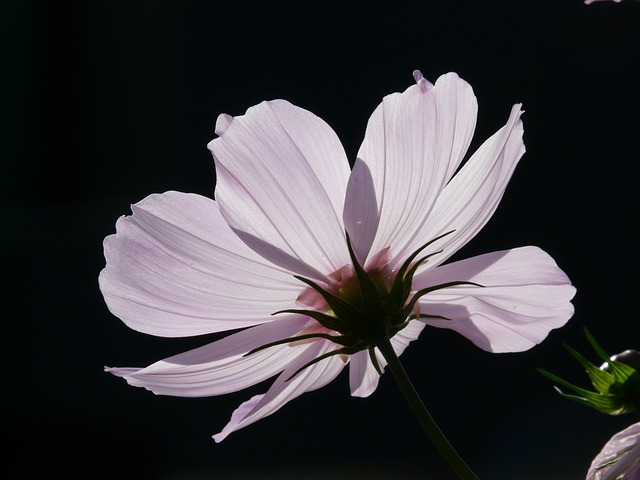 Flower, Blossom, Bloom, Light Pink, Cosmea, Translucent
