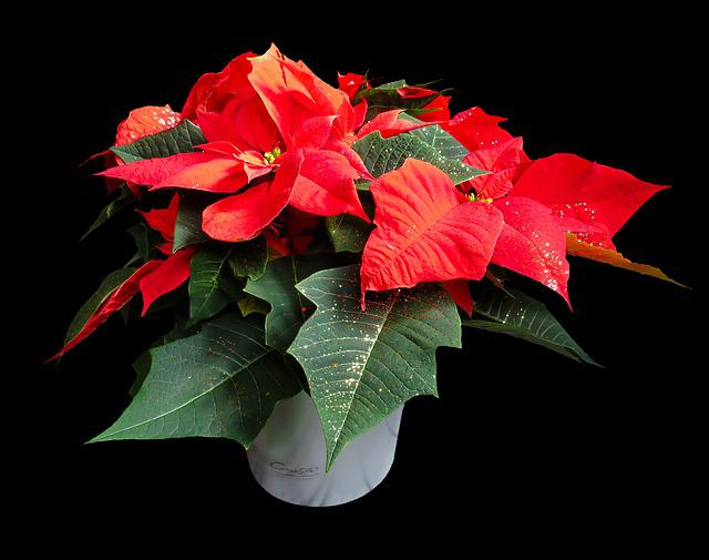 Flower, Poinsettia, Plant, Blossom, Bloom, Christmas