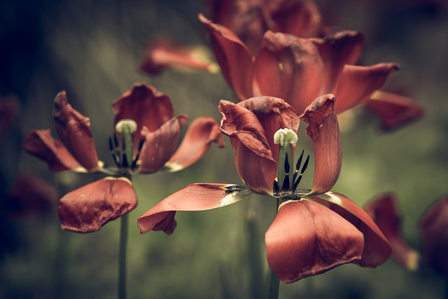 Tulips, Faded, Flower, Blossom, Bloom, Close Up, Macro