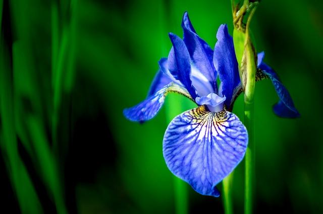 Iris, Flower, Blue, Bloom, Garden, Summer, Background