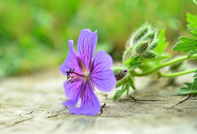 Cranesbill, Blossom, Bloom, Flower Garden, Purple