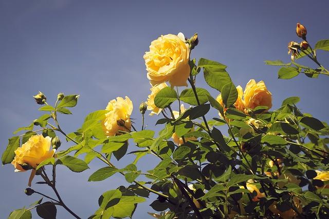 Rose, Flower, Blossom, Bloom, Nature, Summer, Green