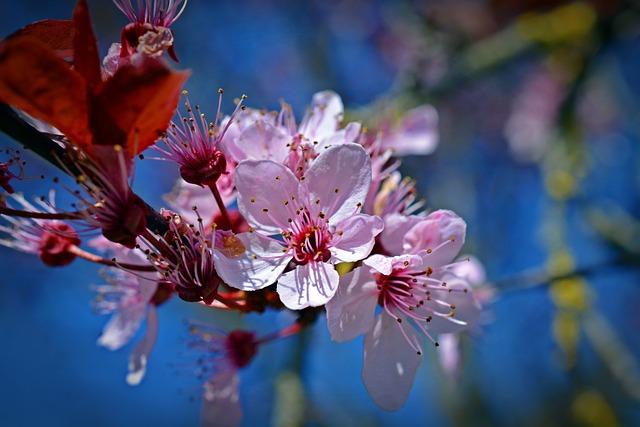 Japanese Cherry Trees, Blossom, Bloom, Flower, Nature