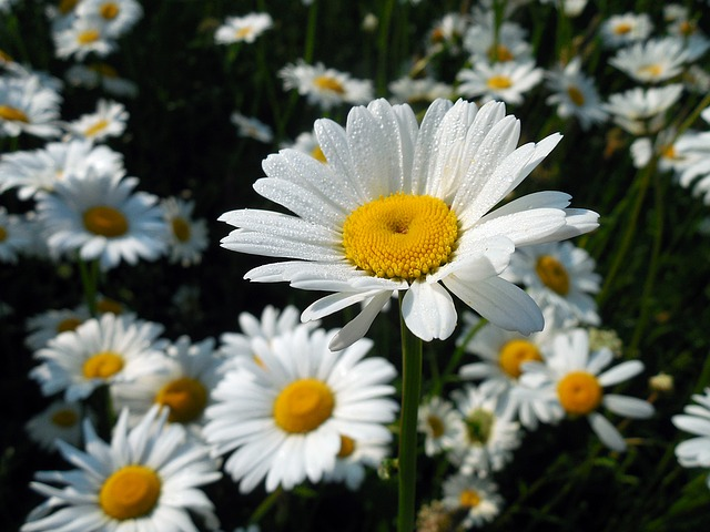 Marguerite, Leucanthemum, Blossom, Bloom, Flower