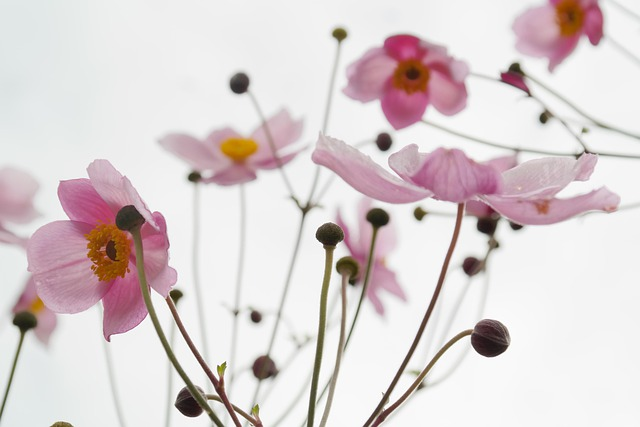 Blossom, Bloom, Pink, Flower, Fall Anemone