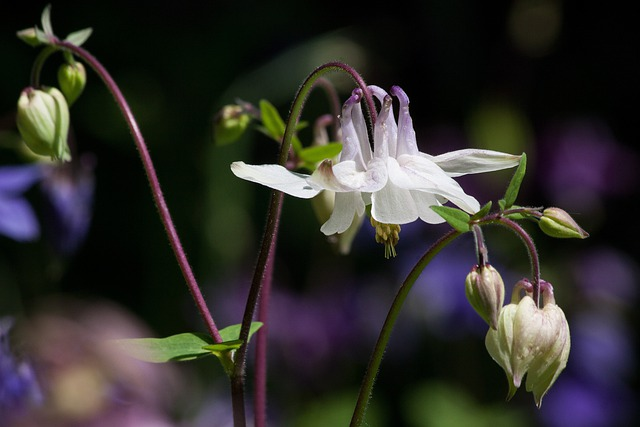 Columbine, Flower, Blossom, Bloom, Plant, White