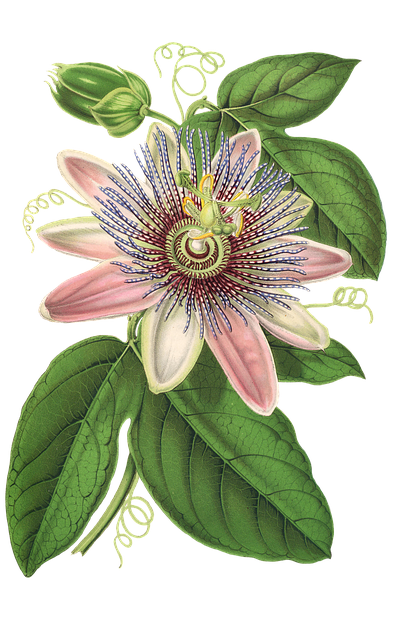 Passion Flower, Flower, Plant, Blossom, Bloom, Vintage
