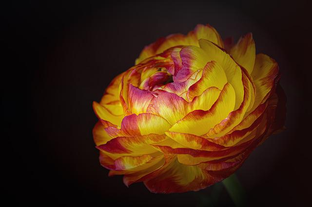 Ranunculus, Flower, Yellow-red Flower, Blossom, Bloom