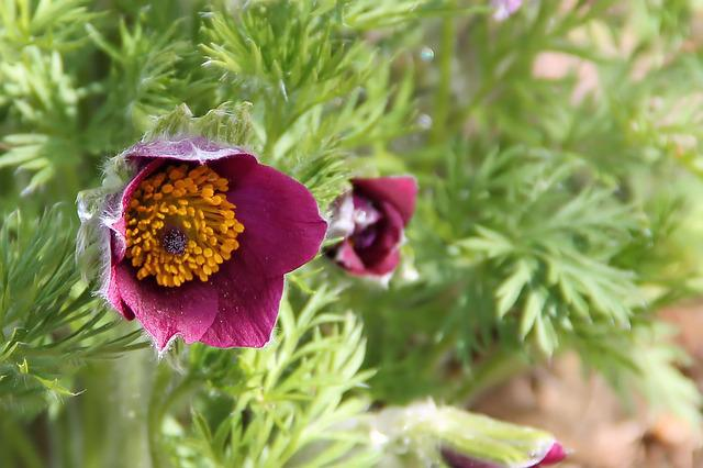 Pasqueflower, Blossom, Bloom, Flower, Spring, Plant