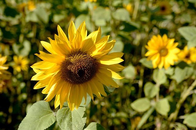 Sun Flower, Blossom, Bloom, Summer, Flower, Plant