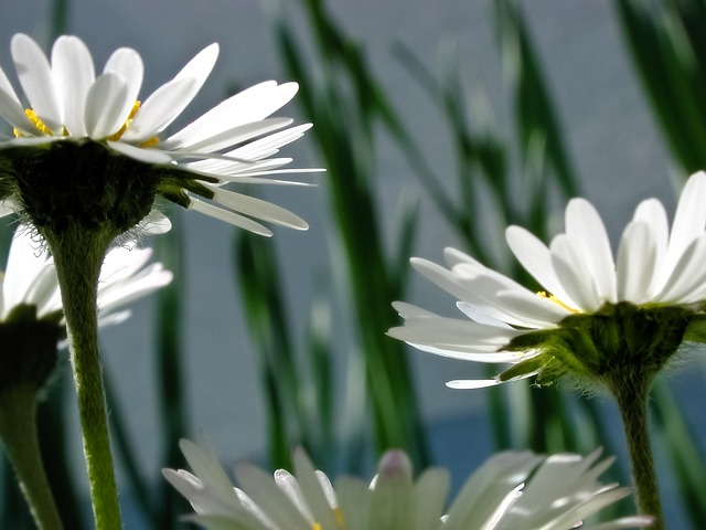 Flowers, Flora, Daisy, Blossom, Bloom, Bloom, White