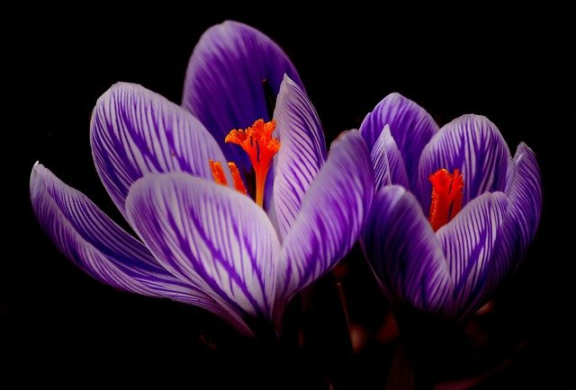 Crocus, Bloom, Spring, Close Up, Purple, Flowers, Macro