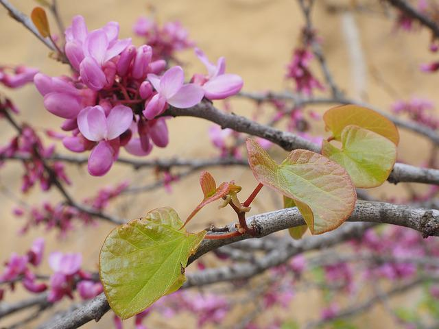Judas Tree, Flowers, Bloom, Pink, Ordinary Judas Tree
