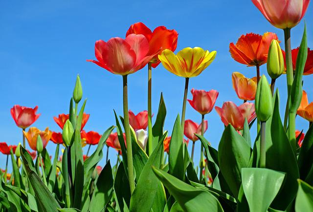 Tulips, Flowers, Bloom, Red Yellow, Spring, Tulip Field