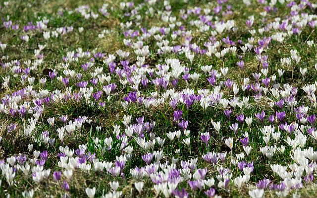Crocus, Spring, Flowers, Blossom, Bloom, Meadow, Nature