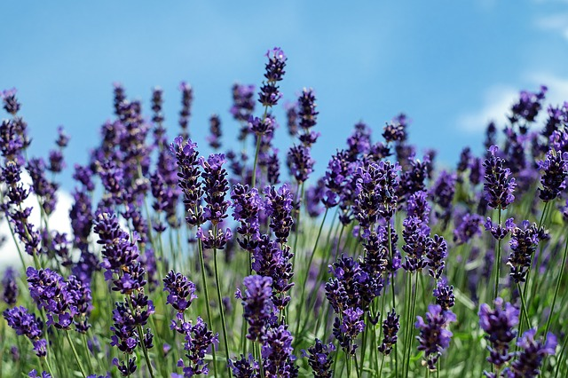 Lavender, Flowers, Bloom, Violet, Fragrance, Sky
