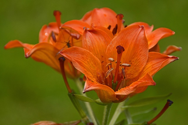 Lily, Blossom, Bloom, Flower, Garden, Orange, Close