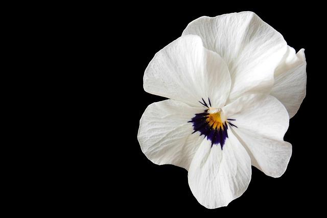 Pansy, Violet, Blossom, Bloom, Garden Pansy