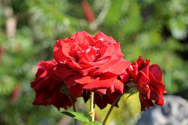 Rose, Red, Garden, Blossom, Bloom, Flower
