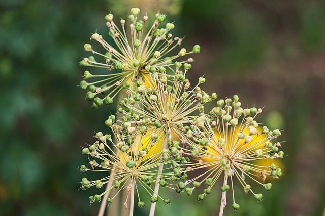 Allium, Ornamental Onion, Blossom, Bloom, Faded, Green