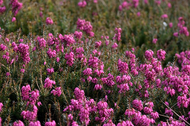 Erika, Heather, Nature, Flowers, Bloom, Purple, Spring