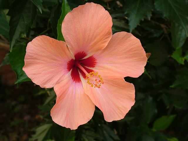Plant, Blossom, Bloom, Hibiscus