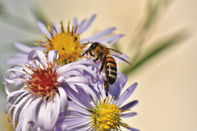 Bee, Honey Bee, Insect, Aster, Blossom, Bloom, Pollen