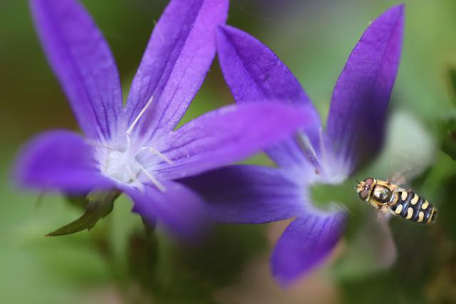 Bellflower, Hoverfly, Insect, Fly, Blossom, Bloom