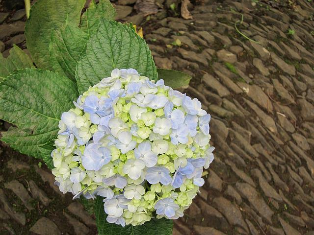 Hortensia, Hydrangea, Floral, Bloom, Nature, Flower