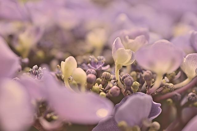 Hydrangea, Hydrangea Flower, Blossom, Bloom, Bud
