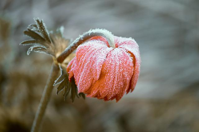 Frozen, Blossom, Bloom, Ripe, Head, Depend, Ice, Winter