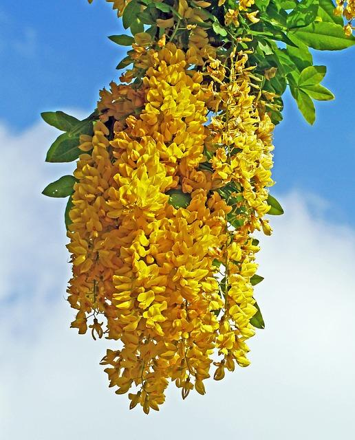 Laburnum, Tree, Blossom, Bloom, Golden Yellow, Spring