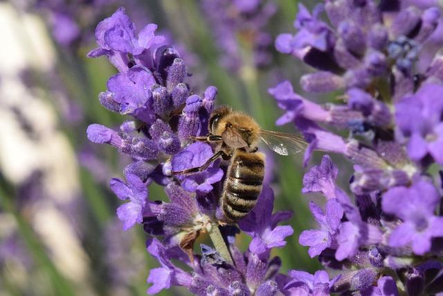 Bee, Lavender, Blossom, Bloom, Sprinkle, Fertilize