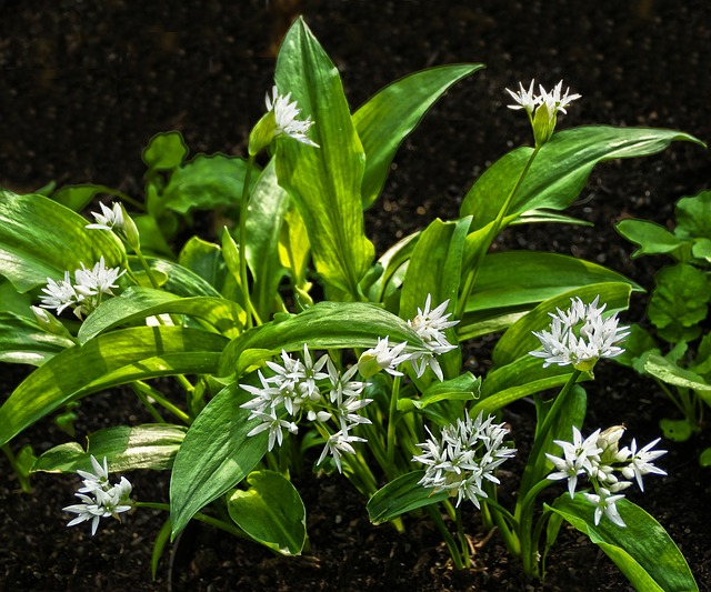 Bear's Garlic, Leaves, Blossom, Bloom, Plant, Forest