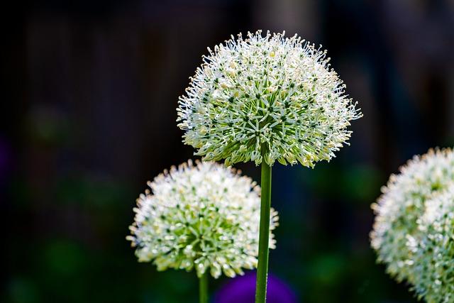 Ornamental Onion, Leek, Blossom, Bloom, White, Nature