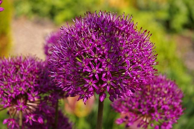 Ornamental Onion, Leek, Blossom, Bloom, Ball Leek