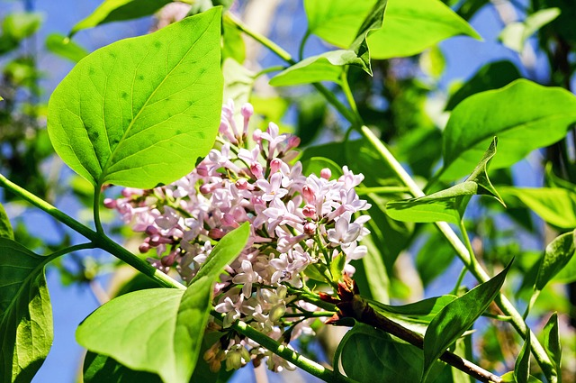 Lilac, Flower, Blossom, Bloom, Bloom, Color